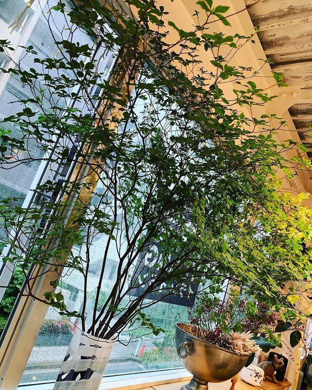 イランイラン店内に設置しているドウダンツツジの写真